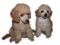 Продаются щенки пуделя
