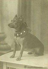 Карликовый пинчер на фото 1890 года.
