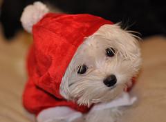 Не дарите ребенку собаку на Новый год