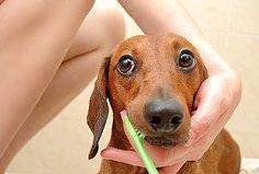 Уход за зубами маленькой собачки