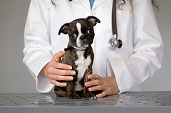 Симптомы кашля у маленьких собак