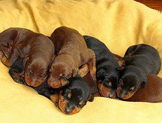 Важнейшие стадии развития щенков