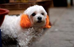 Как безопасно покрасить шерсть маленькой собачки